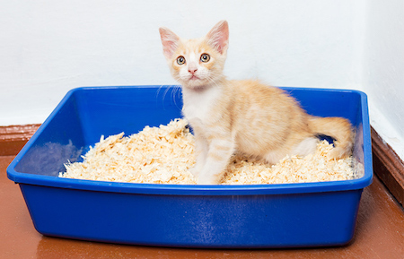 When do Kittens start using the Litter Box?