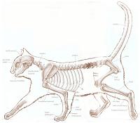 Cats have 230 Bones